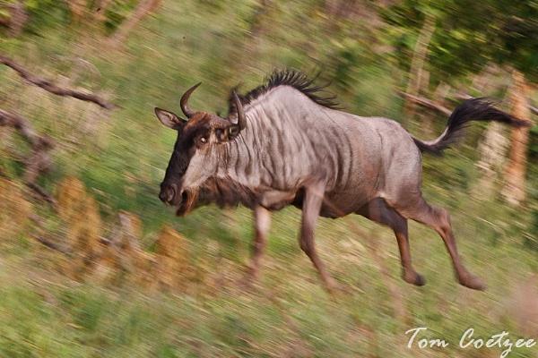 Blue Wildebeest in motion by TomCoetzee