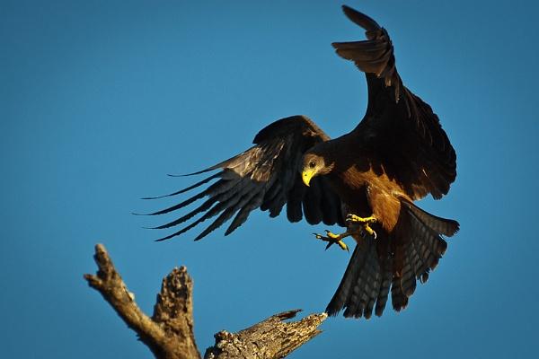 Yellowbilled Kite by TomCoetzee