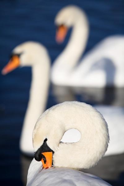 The three swans by JeffreyW