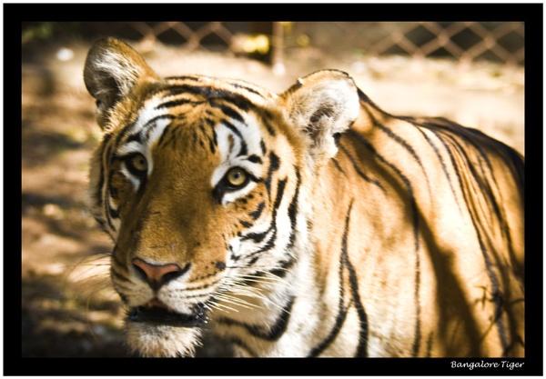 Bangalore Tiger by Stevebishop