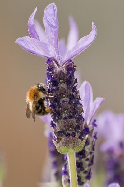 Lavender Honey by JudeC
