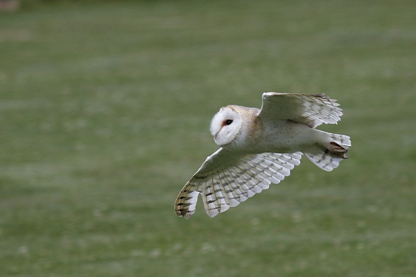 Barn owl by Geofferz