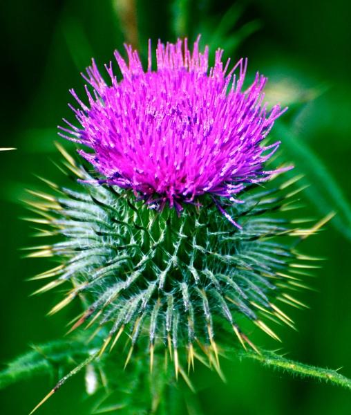 Scottish Thistle by davie
