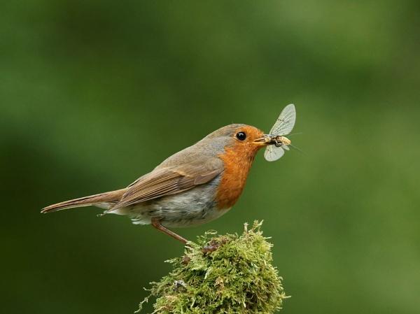 Robin & Mayfly by AlanWillis