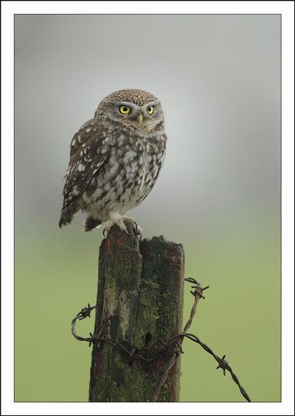 Little Owl by Brian_Scott