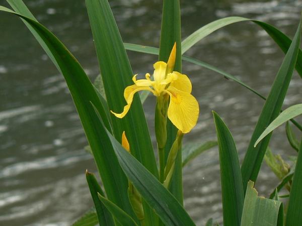 Iris ? by cageymac