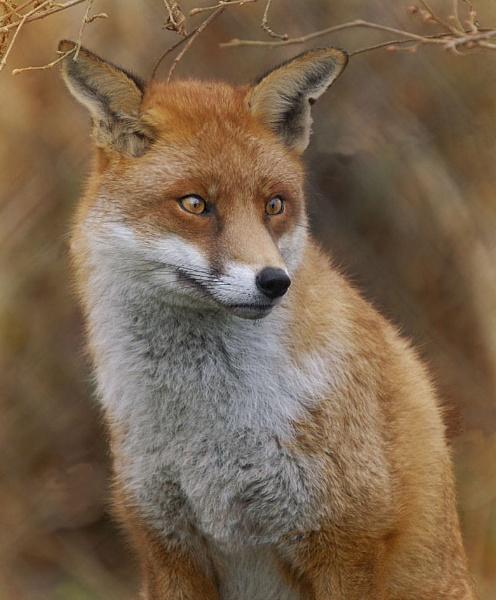 Fox by clintnewsham