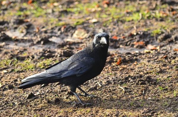 Raven by dhandjh