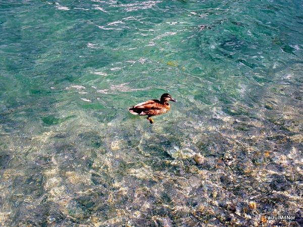 A single duck. by faizul_md