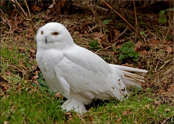 Snowy Owl by Gezina