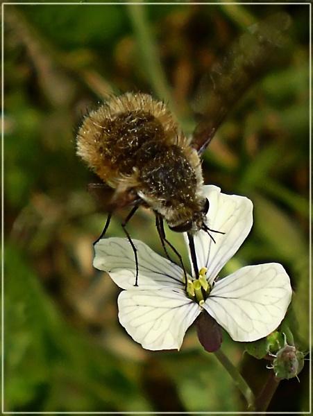 bee-fly on eruca by CarolG