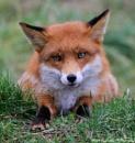 Fox by mark1309