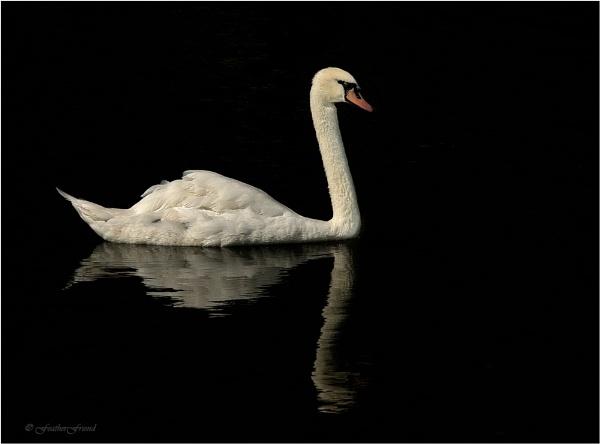 Swan 2 by FeatherFriend