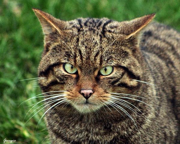 Scottish Wild Cat by Georgie