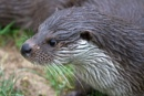 Otter by rambler
