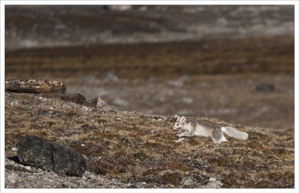 Arctic Fox on tne run by rontear