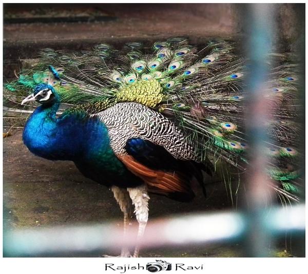 NATIONAL BIRD by rajishravi