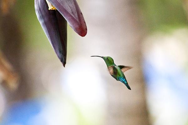 Green-throated Carib Hummingbird by afyfe