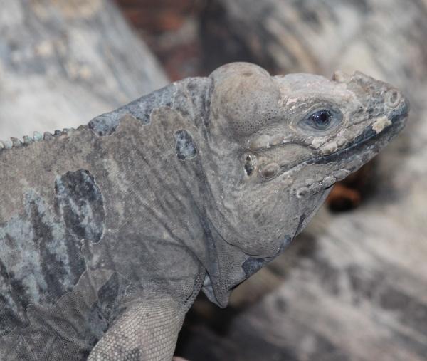 Komodo Dragon by Gillygems