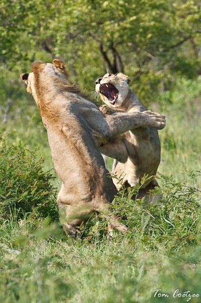 Lion brawl by TomCoetzee