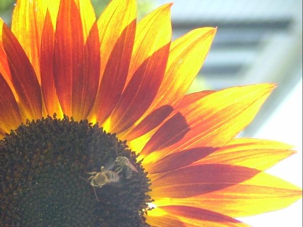 sunflower by cptdaniel