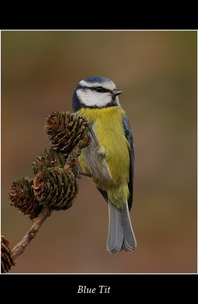 Blue Tit by NigelKiteley