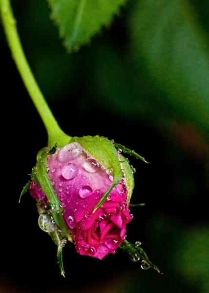 Rosebud with water drops by Degilbo