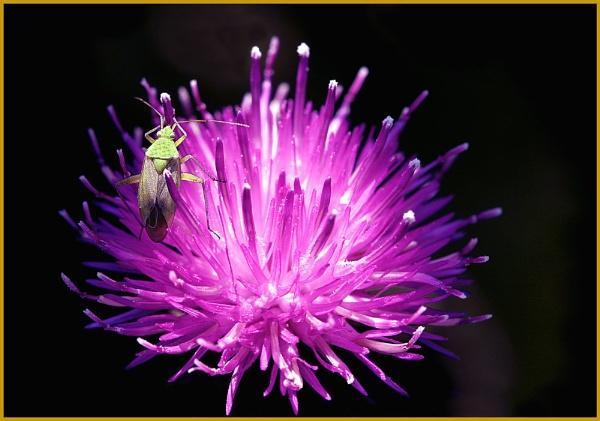 Hawthorn Shieldbug by f8