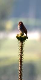 Mountain Sparrow