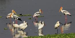 Painted Storks &  Spoon Bills