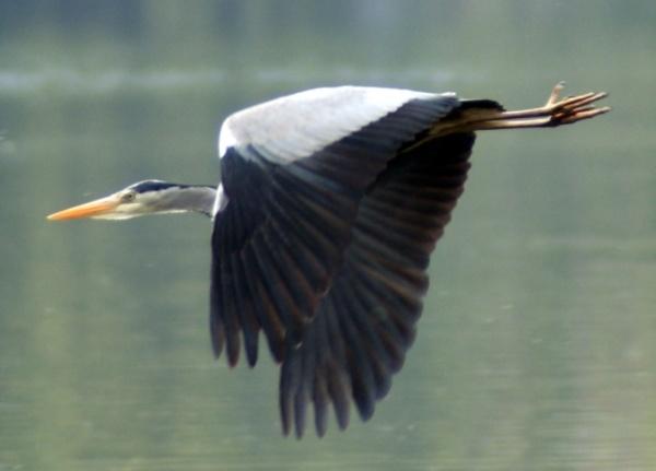 Heron in flight by Gillygems