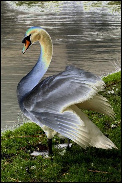 Solarised swan by Canonomic