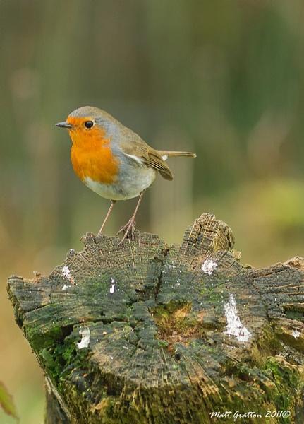 Robin (Erithacus rubecula) by mohikan22