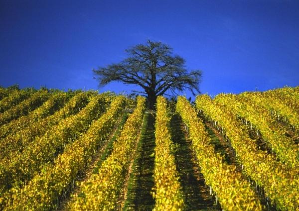 Straight Vines by steveowea