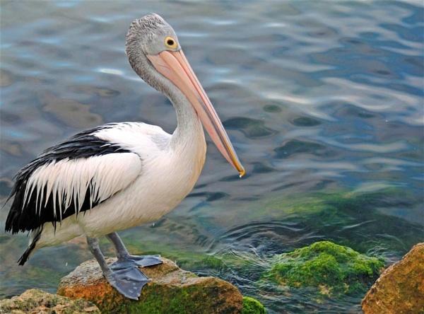 Australian Pelican by Jaliya