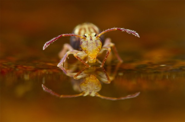 Globular springtail reflection by philgood