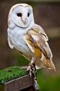 Barn Owl by JJGEE