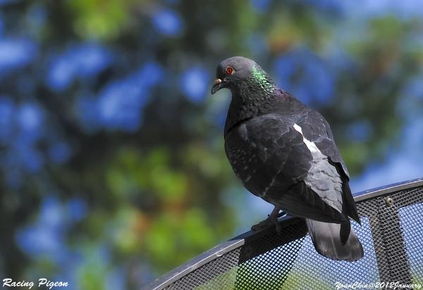 Racing Pigeon by Ycmah