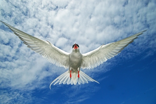 Arctic Tern in flight by bobrolybbb