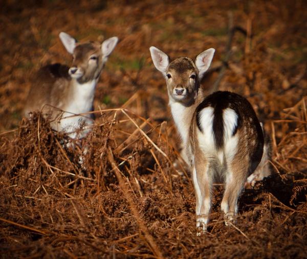Fallow Deer by John_Frid