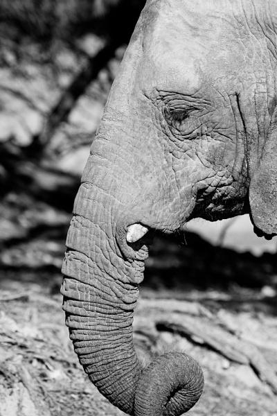 Elefante by nicletog