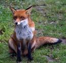 Sitting Fox by rambler