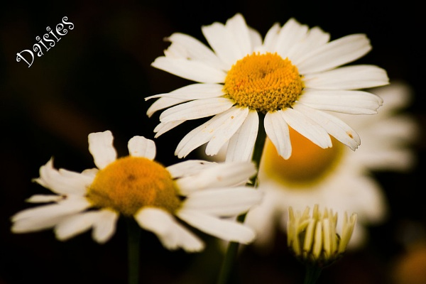Daisies by nimmo47