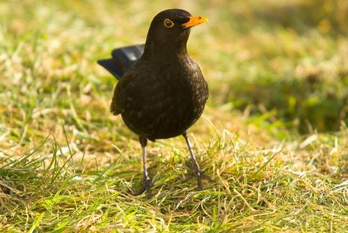 Blackbird of Craiche by richmowil