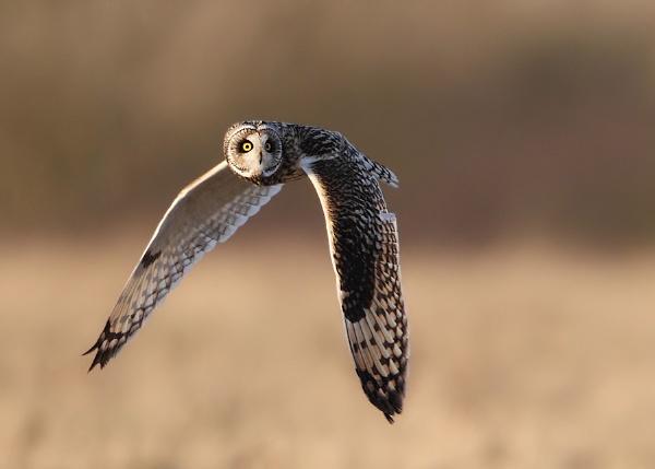 Short Eared Owl by Karen_Summers