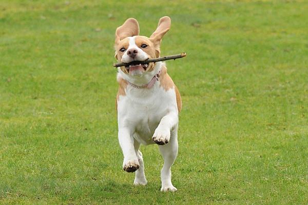 beagle pet by wisp