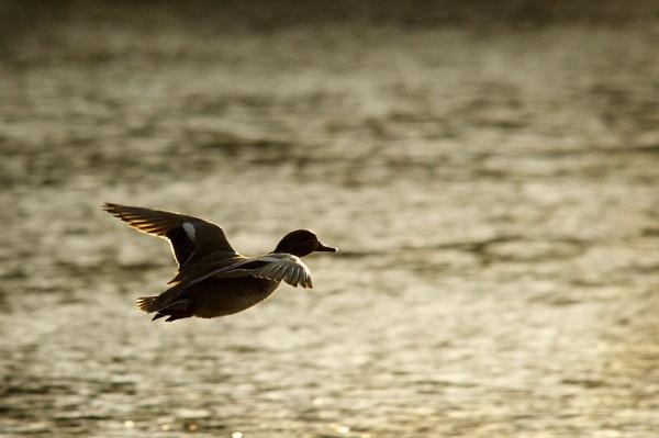 duck by wisp