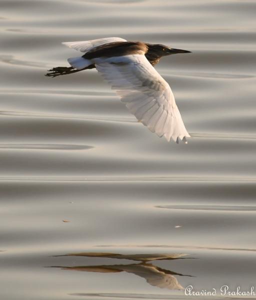 Pond Heron gliding over lake by aravindprakash