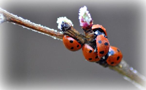 ladybirds... by MHart