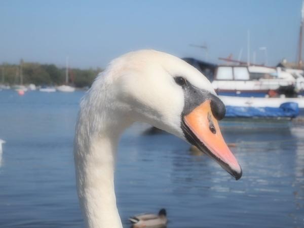 Posing Swan by janiekinns